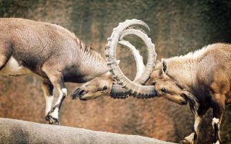 Ram gridlock